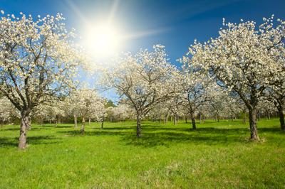 Obstbäume im Frühjahr