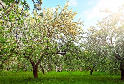 Obstbäume im Frühling.jpg