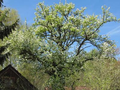 Marianhausbirnbaum-Blüte