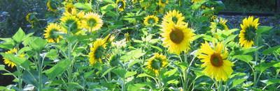 Sonnenblumen Steinschaler Gärten