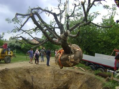 Apfelbaum, (c) Baumschule Ecker
